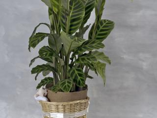 Centros de plantas. En becarama podrás preparar tus centros de plantas ideales para regalar en diferentes celebraciones